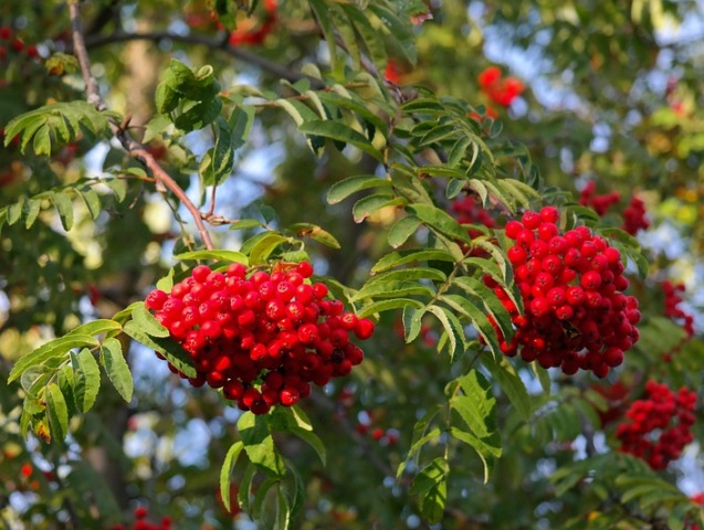 mountain ash berries potassium sorbate derived