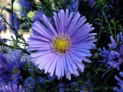blue chamomile1